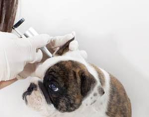 Обследование уха у ветеринара