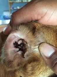 Следы жизнедеятельности клеща в ухе животного