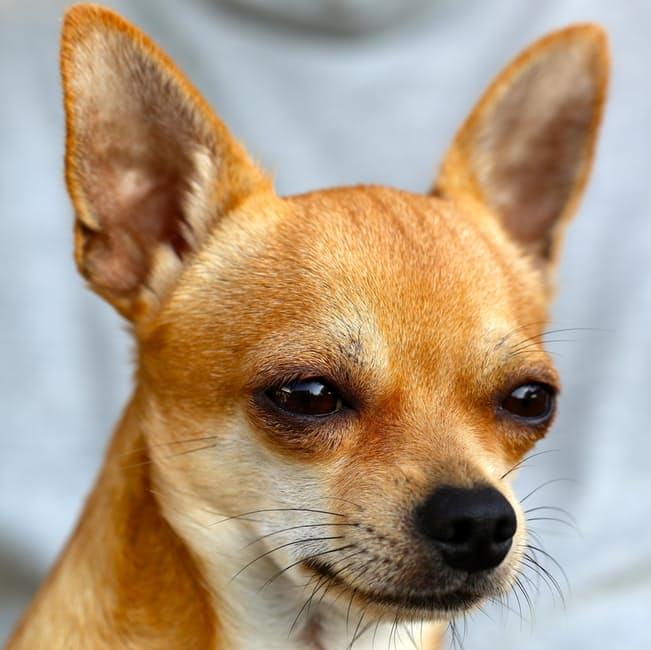 Как собаке поставить уши