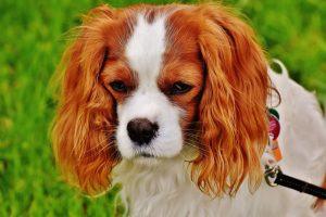 Отит у собак симптомы и лечение в домашних условиях