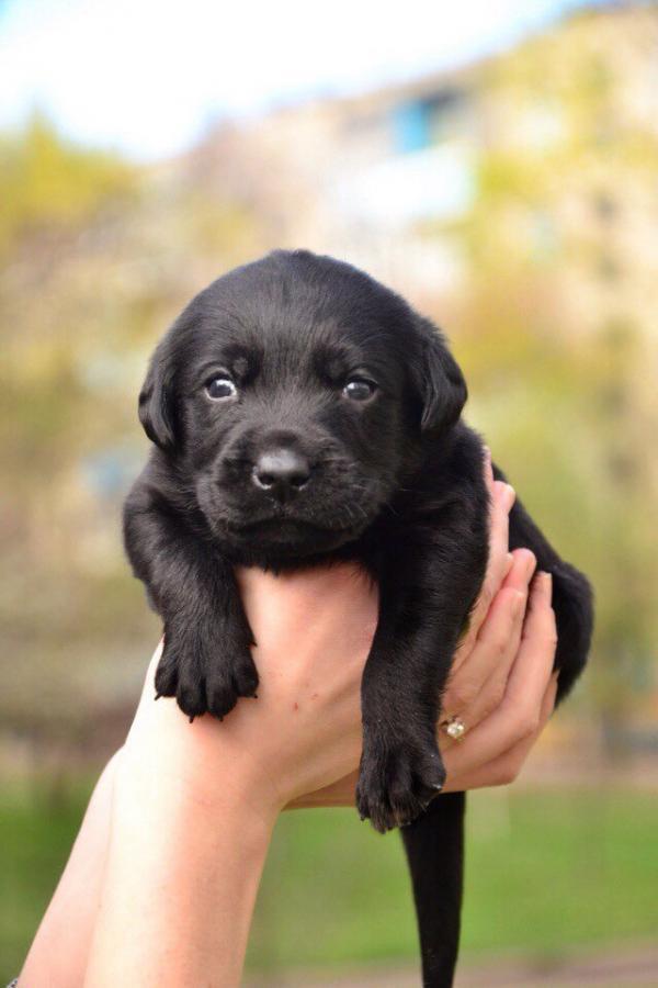 Черный щенок лабрадора.