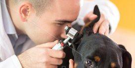 Обследование больного уха собаки