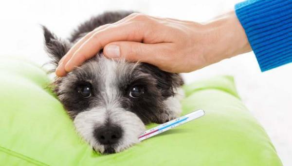 Температура у собаки перед родами