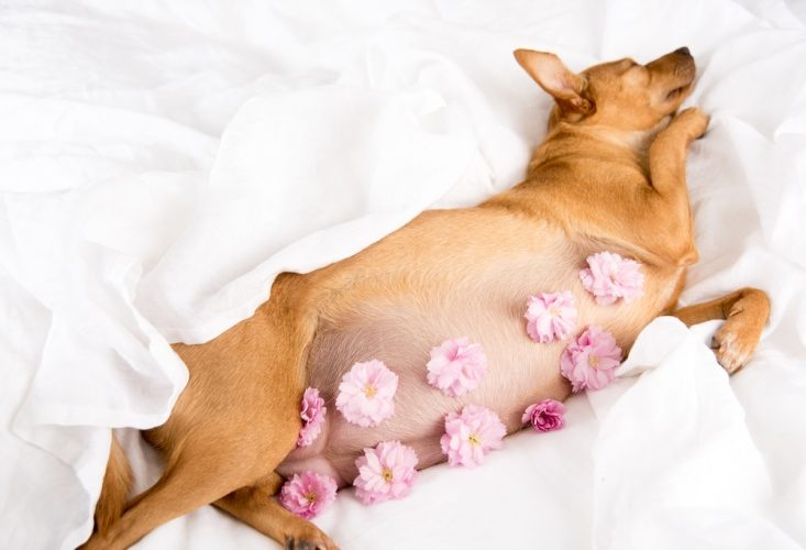 Собака перед родами