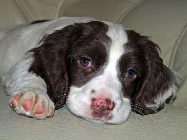 Порода собак с большими ушами Коккер-спаниель