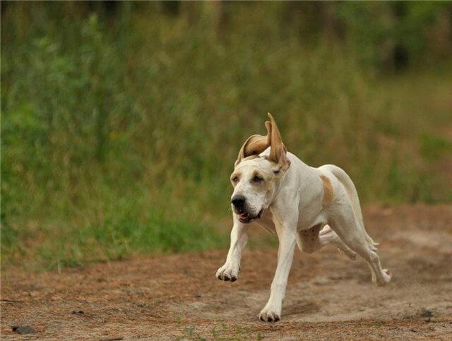 Собака с большими ушами порода порселен