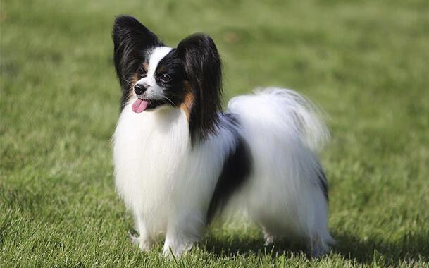 Собака с большими ушами порода фален/папильон