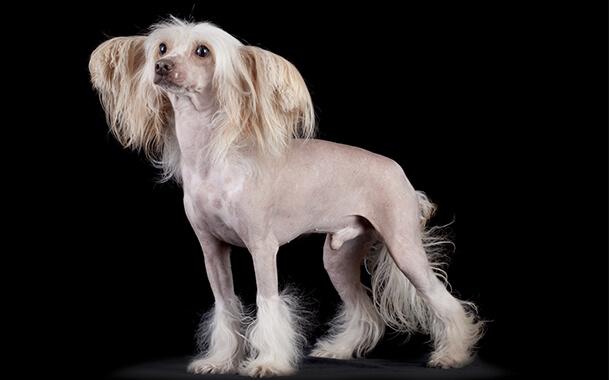 Собака с большими ушами порода Китайская хохлатая