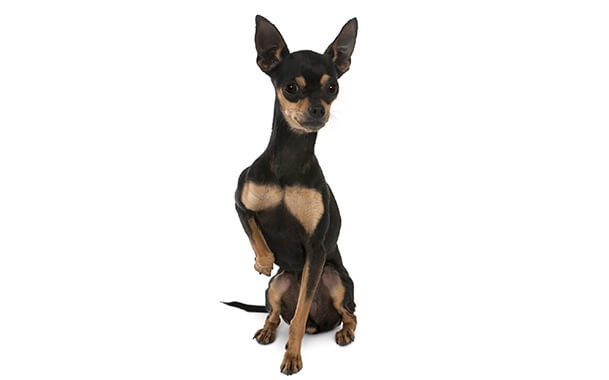 Собака с большими ушами порода крысарик
