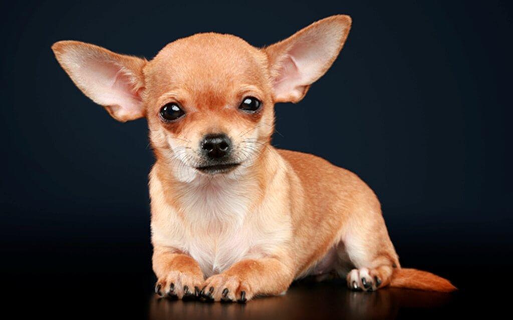 Собака с большими ушами порода Чихуахуа