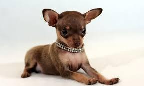 Собака с большими ушами порода Тойтерьер