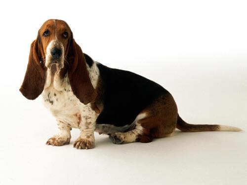 Собака с большими ушами и короткими лапами Бассет-хаунд
