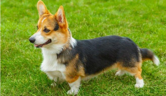 Собака с большими ушами и короткими лапами Вельш корги пемброк