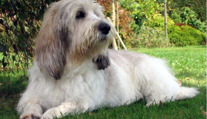 Собака с большими ушами и короткими лапами порода бассет-гриффон