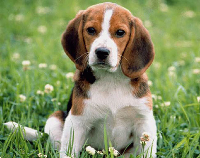 Порода собак с большими ушами Бигль