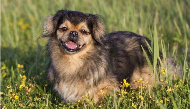 Собака с большими ушами и короткими лапами порода тибетский спаниель.