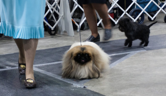 Собака с большими ушами и короткими лапами порода пекинес
