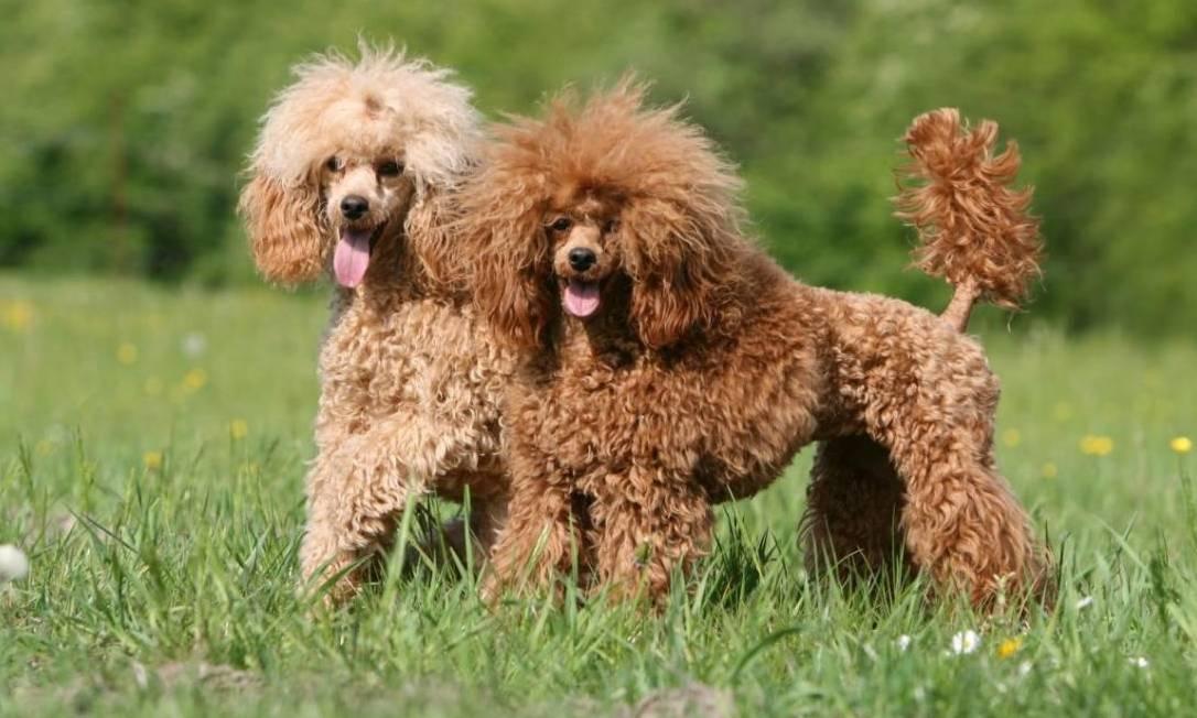 Собака с большими ушами порода Пудели