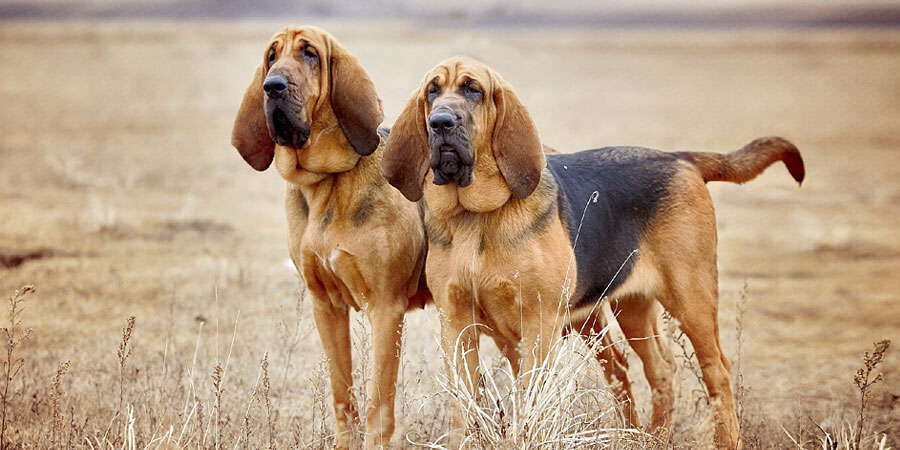 Собака с большими ушами порода Бладхаунд