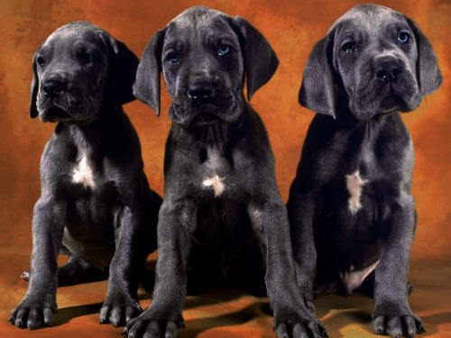 Собака с большими ушами порода Голубой дог