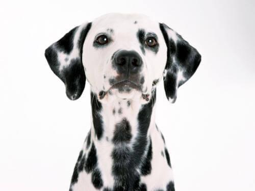 Собака с большими ушами порода Далматинец