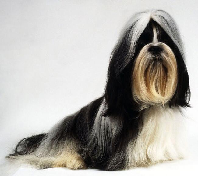 Порода собак с большими ушами ши-тцу