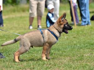 Дрессировка щенка немецкой овчарки начало