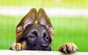 Дрессировка щенка немецкой овчарки с чего начать