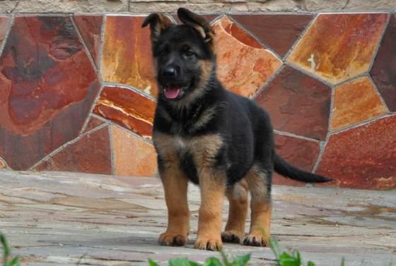 Дрессировка щенка немецкой овчарки в домашних условиях