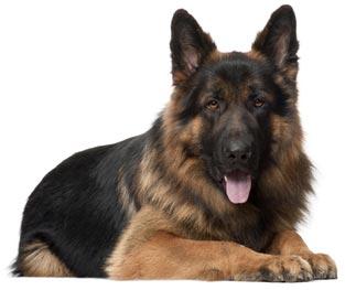 Дрессировка щенка немецкой овчарки 2 месяца