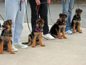 Уроки дрессировки щенков немецкой овчарки