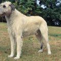 Ирландский волкодав порода собак