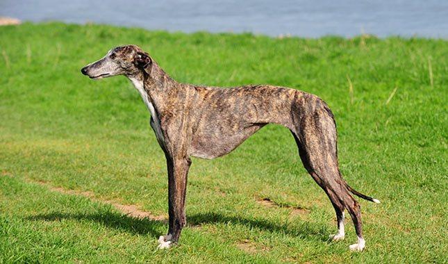 испанский гальго порода собак