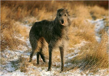 дирхаунд порода собак