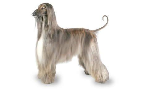 афган порода собак