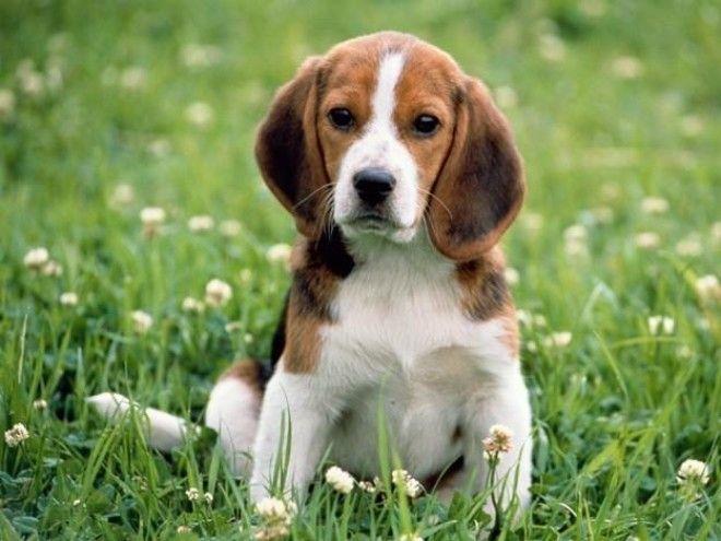 Порода собак бигль - описание породы: история, характер, уход, разведение