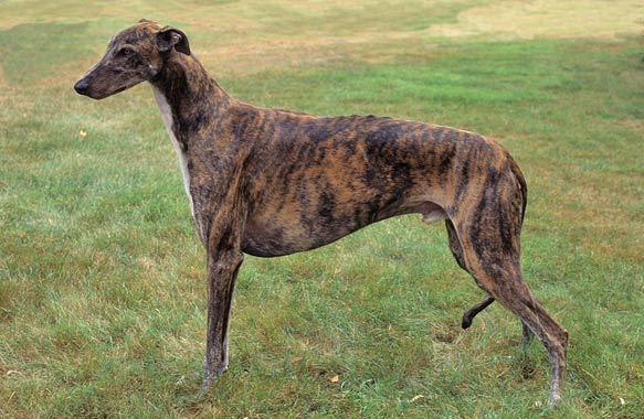 Грейхаунд порода собак