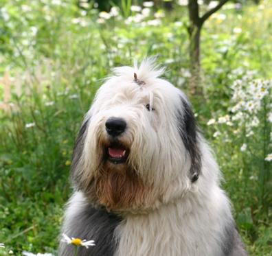 Порода собак бобтейл